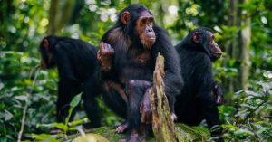 Chimpanzee Tracking Tours
