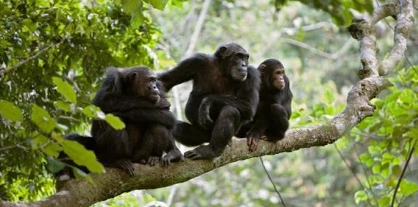 3 days Gombe Chimps Tracking Tour