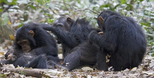 Tracking Chimpanzee Gombe