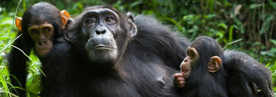 Chimpanzee Tracking Gombe and Mahale