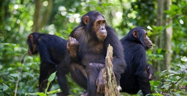 Chimpanzee Tracking Gombe