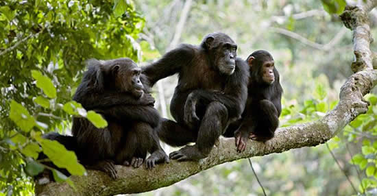 2 days Chimpanzee Trekking Safari Gombe