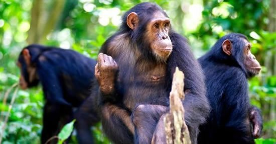 Chimpanzee Tracking Mahale